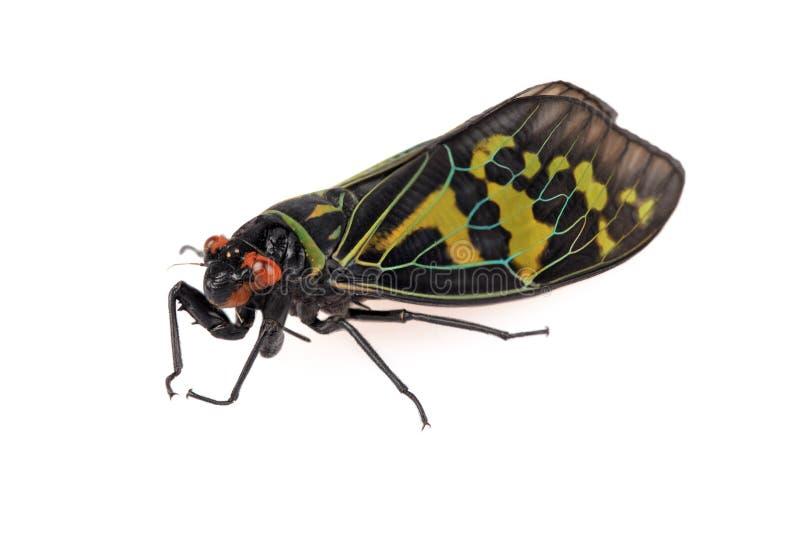 Color Cicada Royalty Free Stock Image