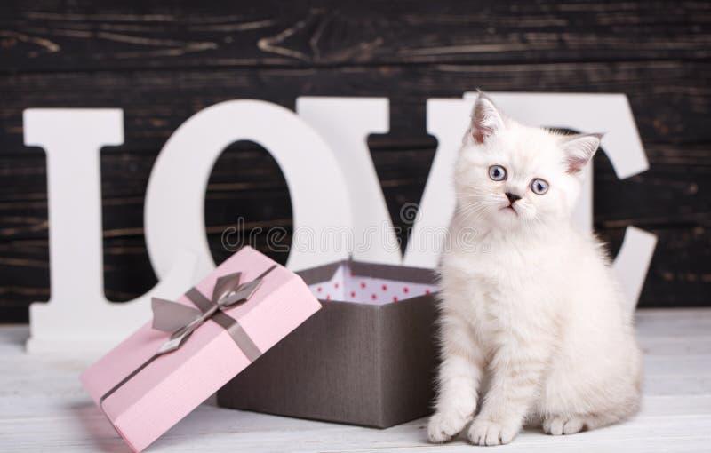 Color crema recto escocés del gato Un gatito juguetón cerca de la caja Tarjeta de felicitación del día de tarjeta del día de San  fotos de archivo