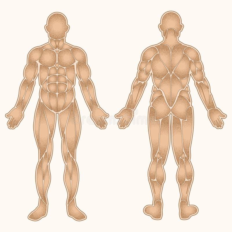 Color de los músculos del cuerpo humano stock de ilustración