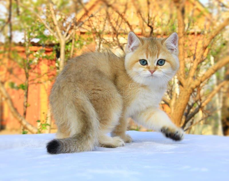 Color de oro del gatito británico del shorthair fotografía de archivo