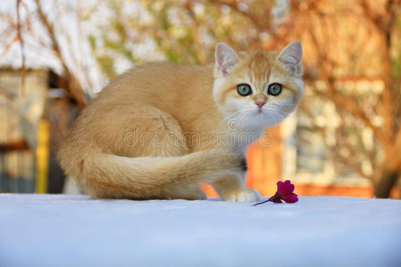 Color de oro del gatito británico del shorthair foto de archivo
