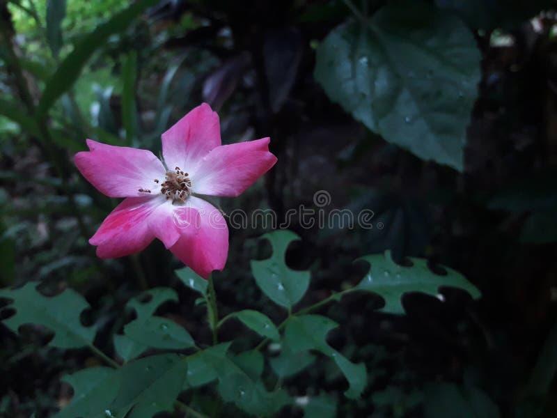 Color de rosa foto de archivo