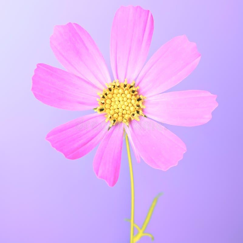 Download Color de rosa imagen de archivo. Imagen de hierba, aromático - 42441783