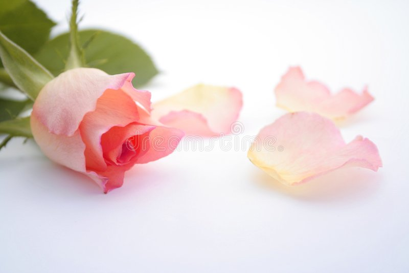 Color de rosa color de rosa y pétalos fotos de archivo