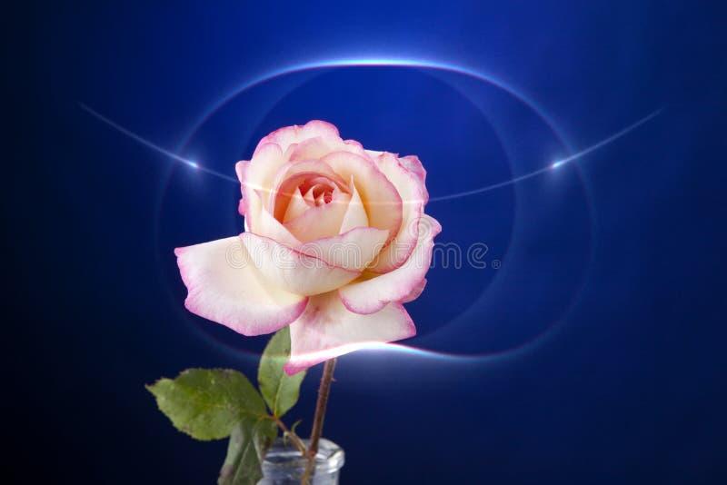 Color de rosa de Rose aislado en azul foto de archivo libre de regalías