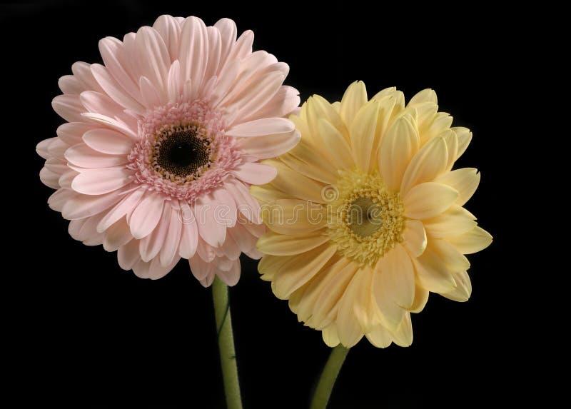 Color de rosa en colores pastel y amarillo de mantequilla Gerberas imagen de archivo libre de regalías