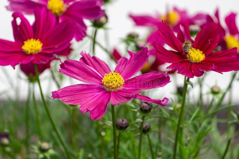 Color de rosa imagenes de archivo