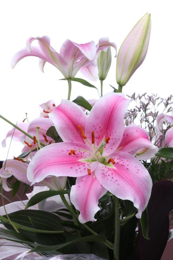 Color de rosa lilly fotos de archivo libres de regalías