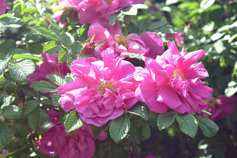 Color de rosa de Rose salvaje Flores hermosas del verano Imagen de la foto foto de archivo