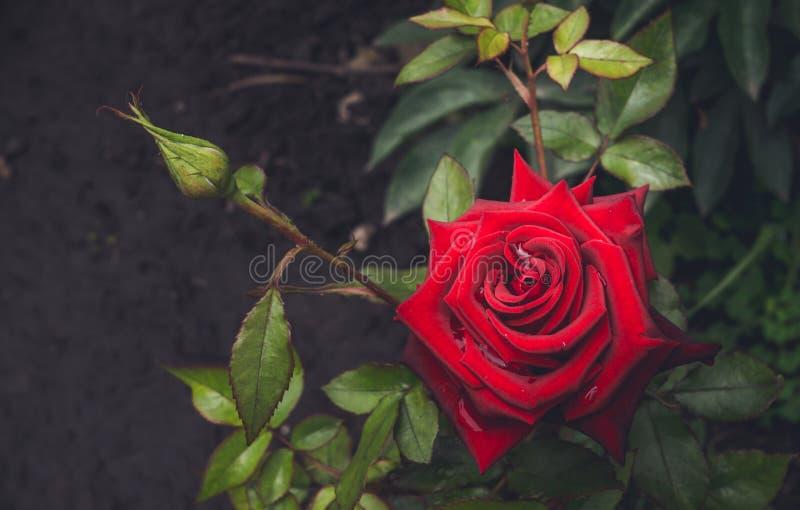 Color de rosa sangriento y descensos del rocío de la mañana Jardín inglés imagen de archivo