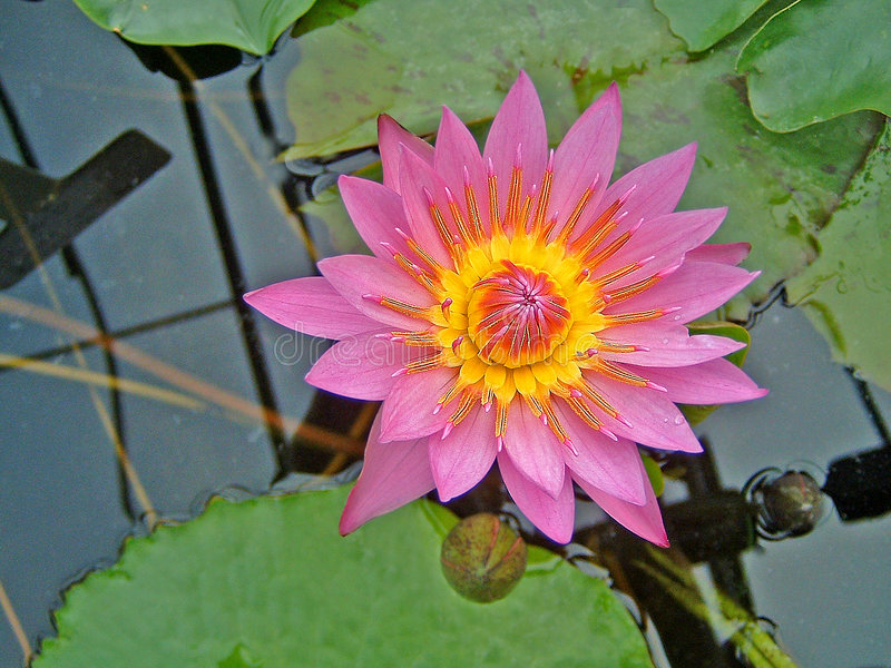 Color de rosa waterlily en la floración foto de archivo libre de regalías