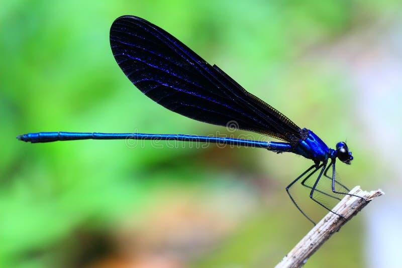 Color del azul de los Damselflies fotografía de archivo libre de regalías