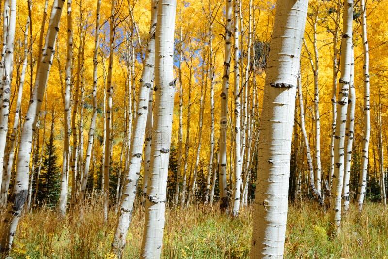 Color del follaje de otoño del árbol de Aspen en Colorado fotografía de archivo libre de regalías