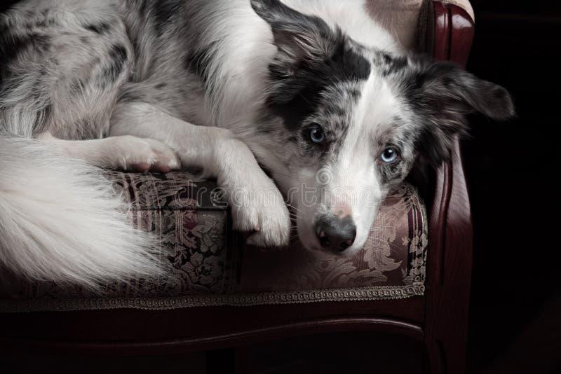 Color del merle del perro del border collie en estudio interior foto de archivo libre de regalías