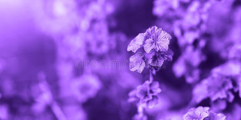 Color del a?o 2018: Ultravioleta Color de color morado oscuro en colores pastel del extracto, sobre la base de la hierba foto de archivo libre de regalías