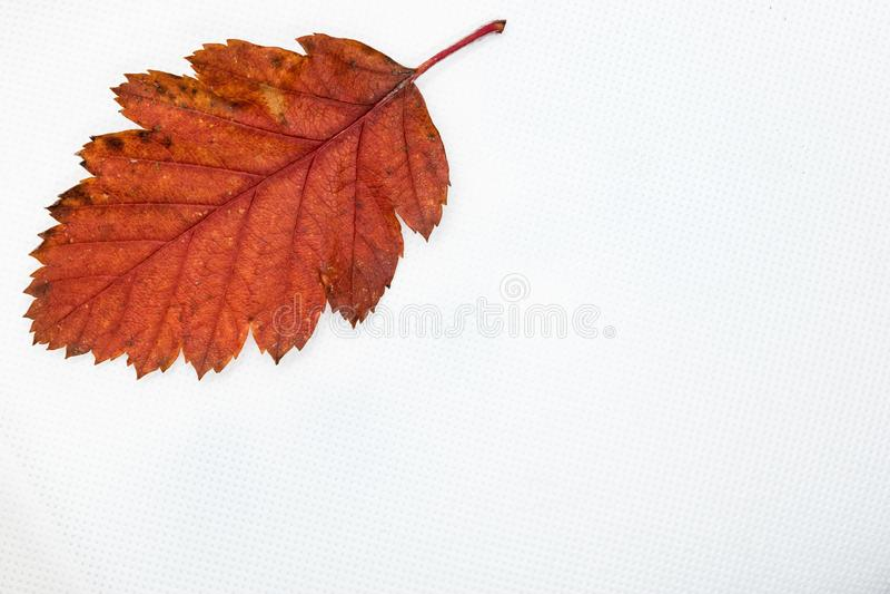 Color del otoño de la hoja del abedul aislado en el fondo blanco fotos de archivo