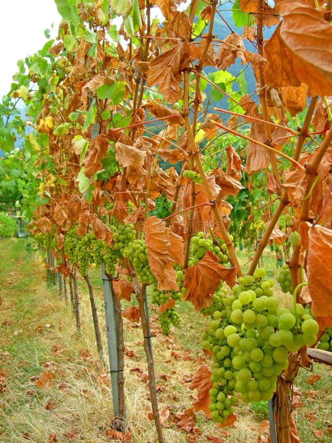 Color del viñedo de la cosecha del otoño fotos de archivo libres de regalías