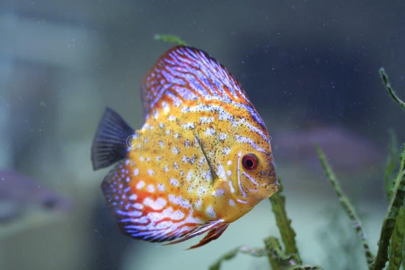 Color fish in aquarium. Beautyfull color fish in aquarium royalty free stock images