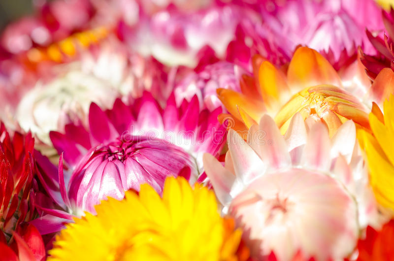 Color Of Flower. Stock Photos