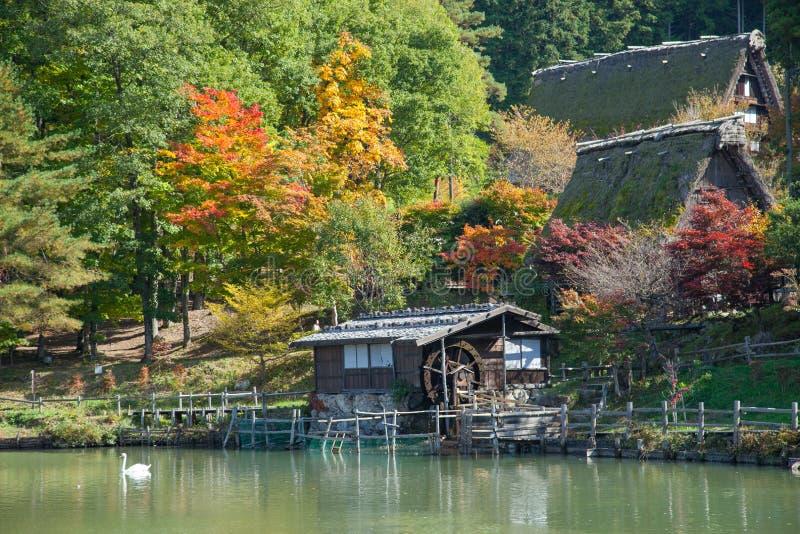 Color-full autumn tree in Hida Folk Village takayama japan.Tourist feed swan in pond. stock photos