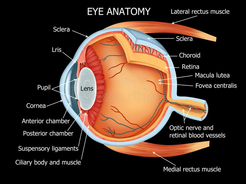 Human Eye Anatomy full details. Color illustration of the anatomy of the human eye and related structures right eye, from above vector illustration