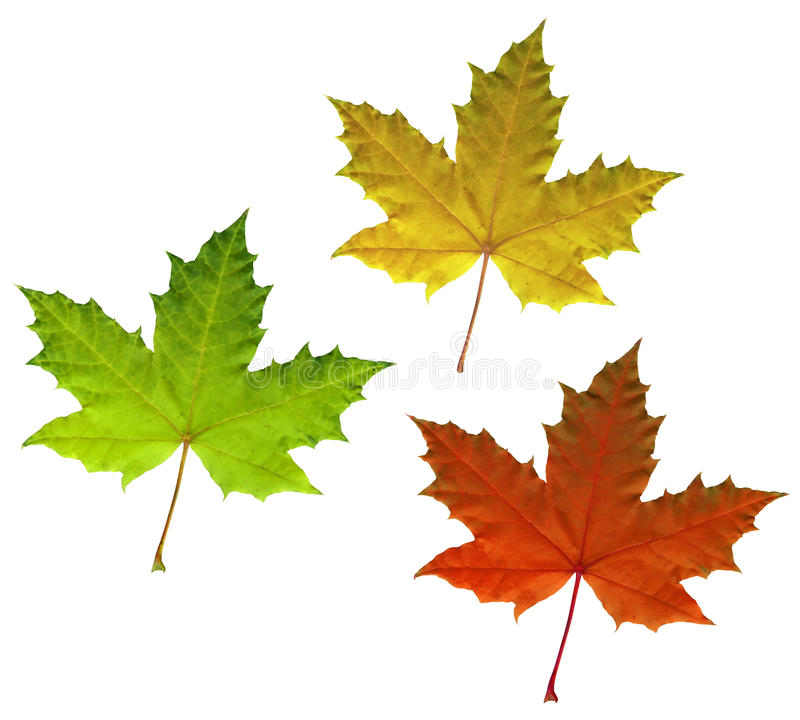 Color Maple Autumn Leaves Isolated On White Royalty Free Stock Image