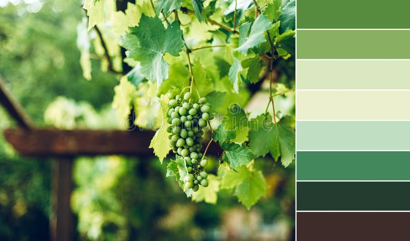 Color matching palette from green grape brunch stock photo