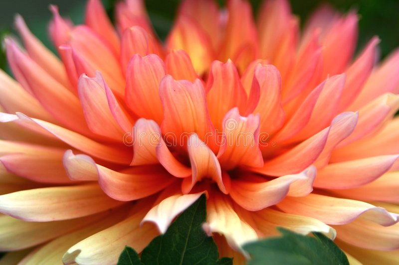 Color me, Dahlia royalty free stock image