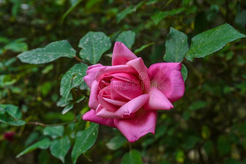 The pink color of the rose royalty free stock images