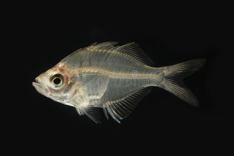 Color original de los glassfish siameses en negro foto de archivo