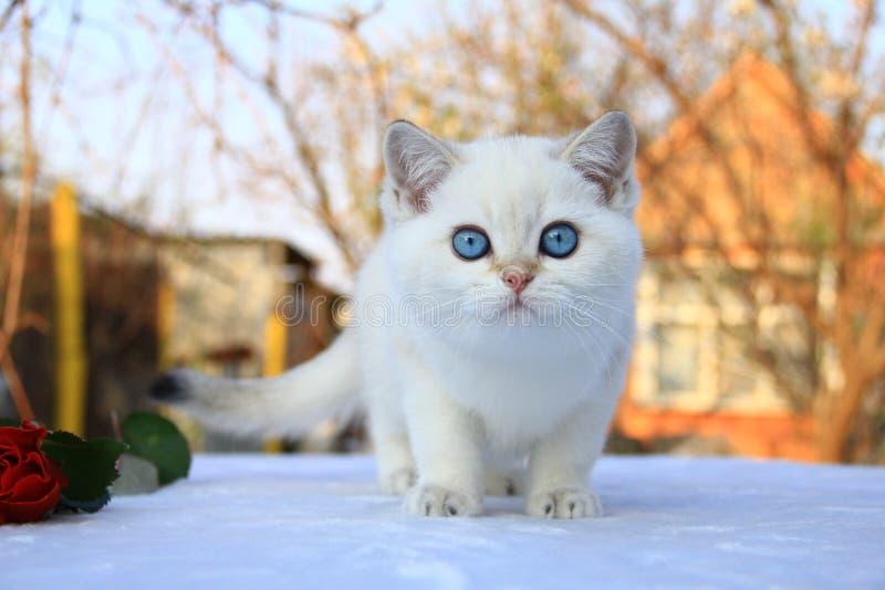 Color raro del gatito británico de Shorthair imagen de archivo