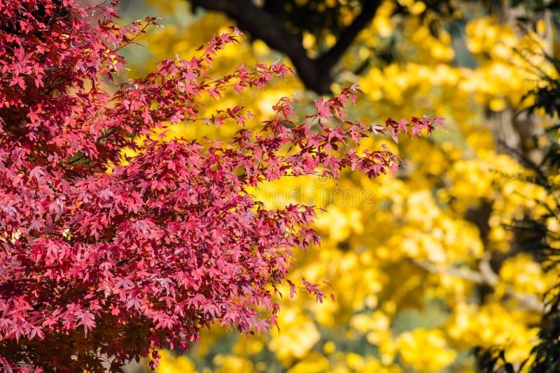 Color rojo de la hoja con la falta de definición del ginko amarillo foto de archivo