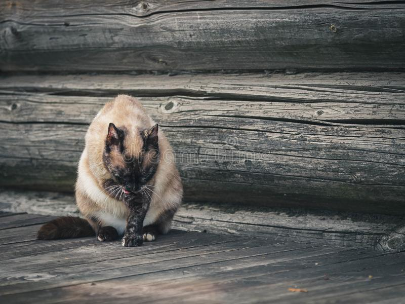 The color rural cat licks pads staying at house. The color rural cat licks pads staying at home on a porch of wooden house stock photos