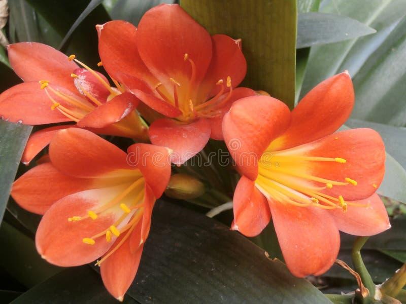 Color scarlatto dei fiori colorati immagine stock libera da diritti
