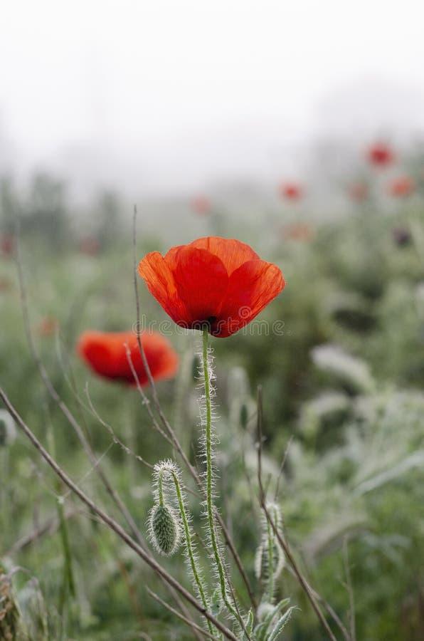 Color scarlatto dei fiori del papavero nel campo Gocce di rugiada di mattina della primavera fotografia stock