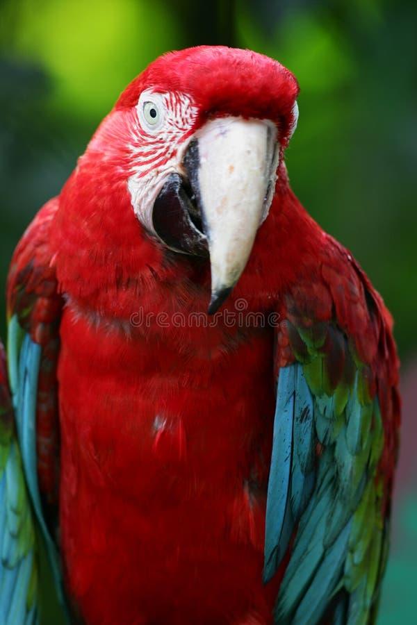 Color scarlatto dei Macaws immagine stock