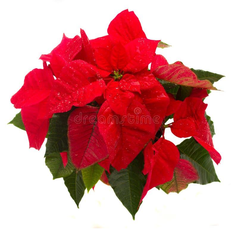 Come Si Conserva La Stella Di Natale.Come Conservare Le Stelle Di Natale Simple With Come Conservare Le