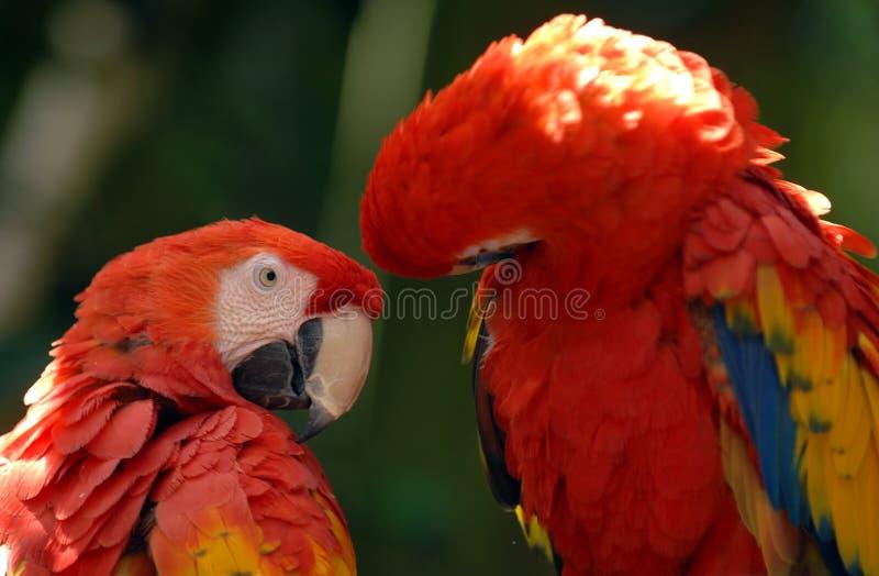 Color scarlatto del macaw 01 immagine stock libera da diritti