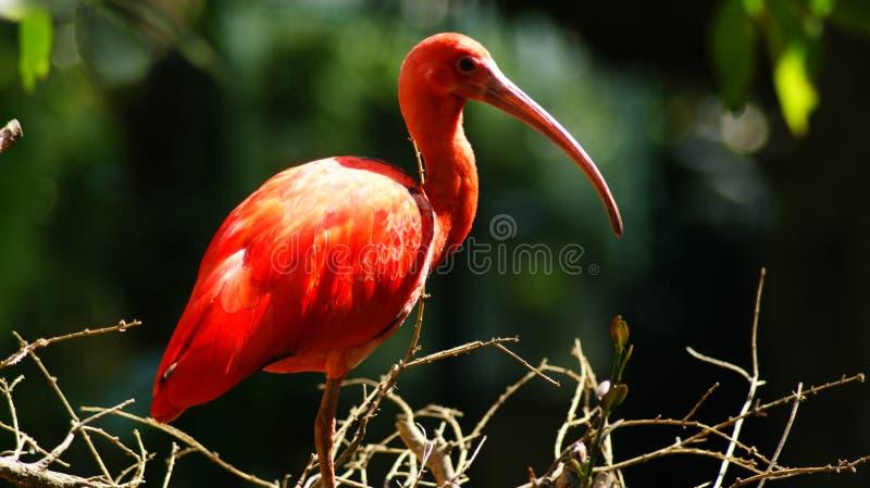 Color scarlatto dell'ibis in uno zoo fotografia stock libera da diritti