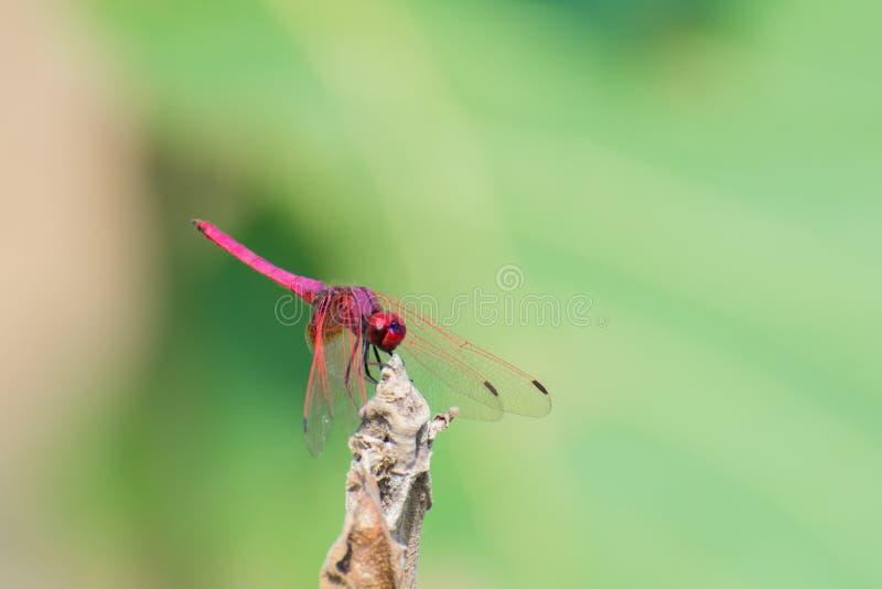 Color scarlatto della libellula della scrematrice fotografie stock