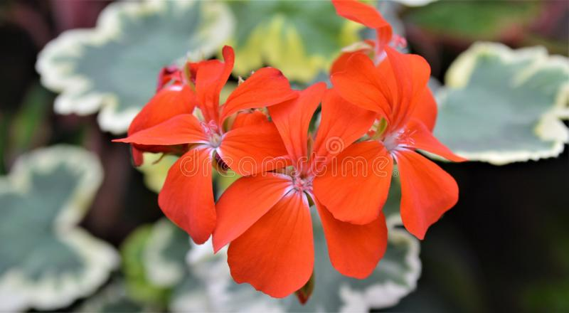 Color scarlatto delle fioriture in primavera immagini stock
