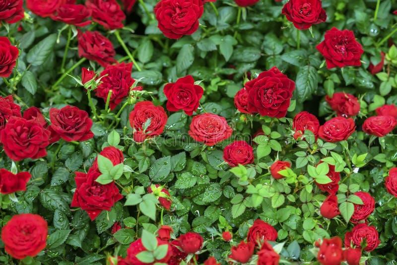 Color scarlatto delle rose in fogliame verde smeraldo, gocce di acqua, rugiada, sfondo naturale luminoso Cartolina d'auguri con a fotografie stock libere da diritti