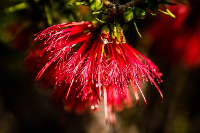Color scarlatto di bottiglia del fiore selvaggio Australia ad ovest della spazzola immagini stock libere da diritti