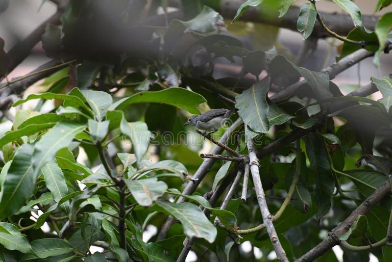 Color scarlatto femminile - flowerpecker di appoggio fotografia stock libera da diritti