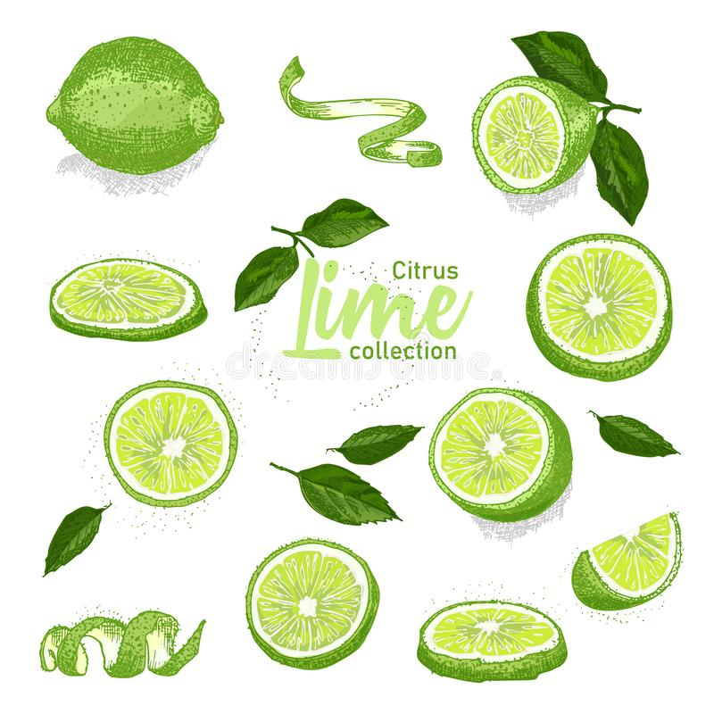 Color set of hand drawn tropical citrus fruit. Lime. Ink sketch style. Good idea for templates menu, recipes, greeting stock illustration