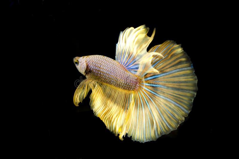Color siamés del glod de los pescados de la lucha imagen de archivo