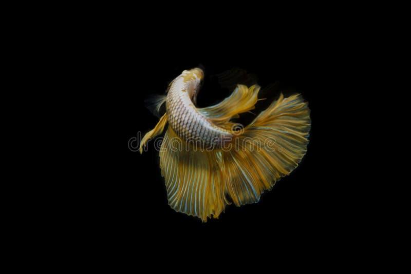 Color siamés del glod de los pescados de la lucha foto de archivo libre de regalías