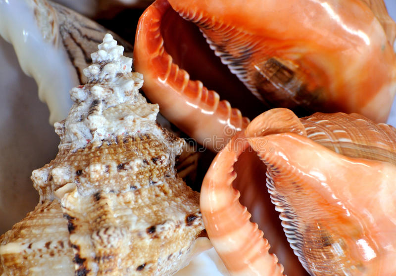 Download Color And Texture Of Sea Shell And Trumpet Stock Photo - Image of craftwork, different: 29030038