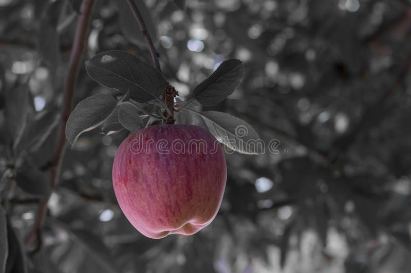 , color tinted 1 red apple in a BW photo. Fresh natural organic red heirloom delicious stands out in black and white backg. Color tinted one red apples in a BW royalty free stock photography