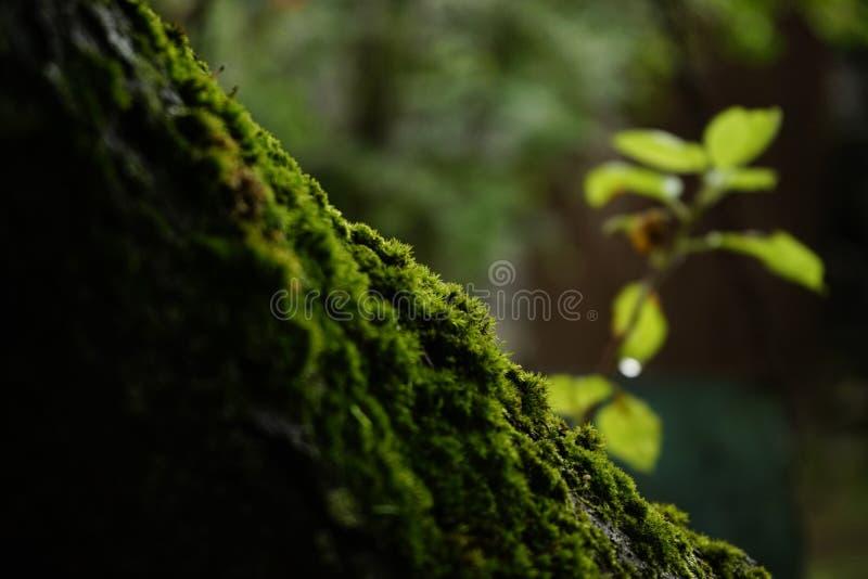 color verde del primer hermoso de la naturaleza en el musgo del árbol del jardín imágenes de archivo libres de regalías